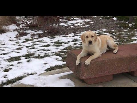 Best Dog Training in Columbus, Ohio! 6 Month Old Labrador Retriever, Samson!