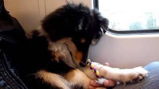 Cute Sheltie Puppy Sleeping On The Train/電車の中で居眠りしてる可愛いシェルティ