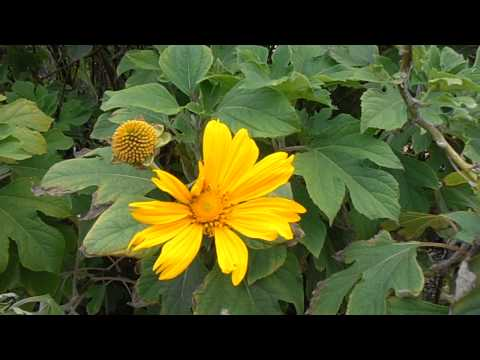 RAYO DE SOL: Tithonia diversifolia (www.riomoros.com)
