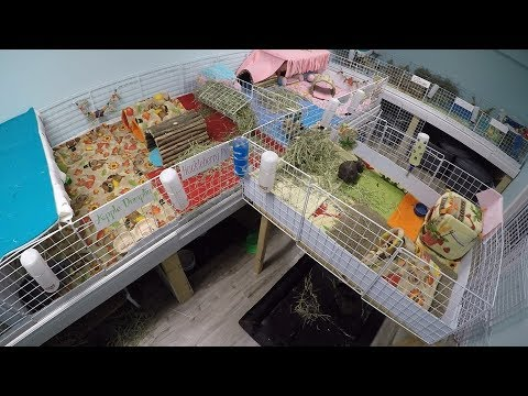 ASMR: Relaxing Pet Room Routine (Guinea Pigs & Rabbit)