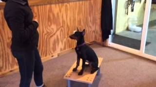 "Doberman Female Puppy ""fauna"" Obedience Protection Trained For Sale K9 Personal"