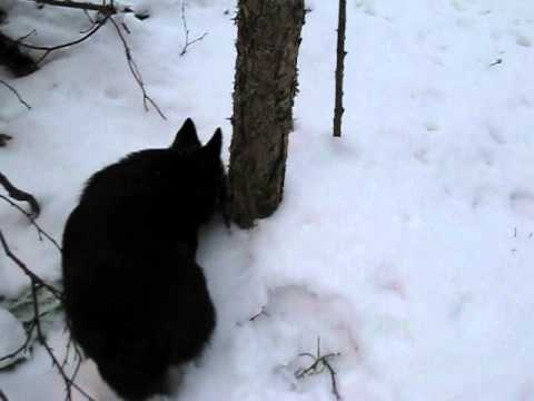 Schipperke dives head first into snow and finds a mouse