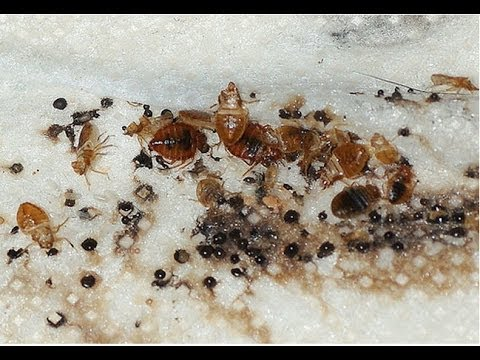 how to kill bed bug infestation