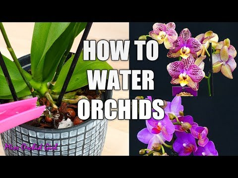Orchid Care for beginners - How to water Phalaenopsis Orchids