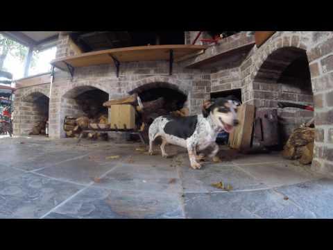 Dachshund Dogs Hunting