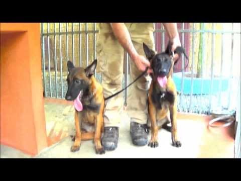 5 Month Old Malinois Puppies - DinnerTime!