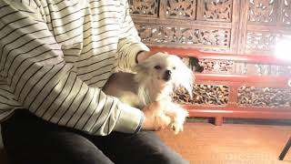 MythicKingdom hairless Chinese Crested Prince Admiral at 8 months Feb 4 2020