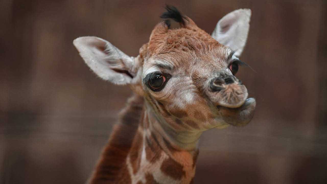 Baby Giraffe Arrives In Time For Christmas: ZooBorns