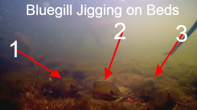 Image result for Bluegill Spawning