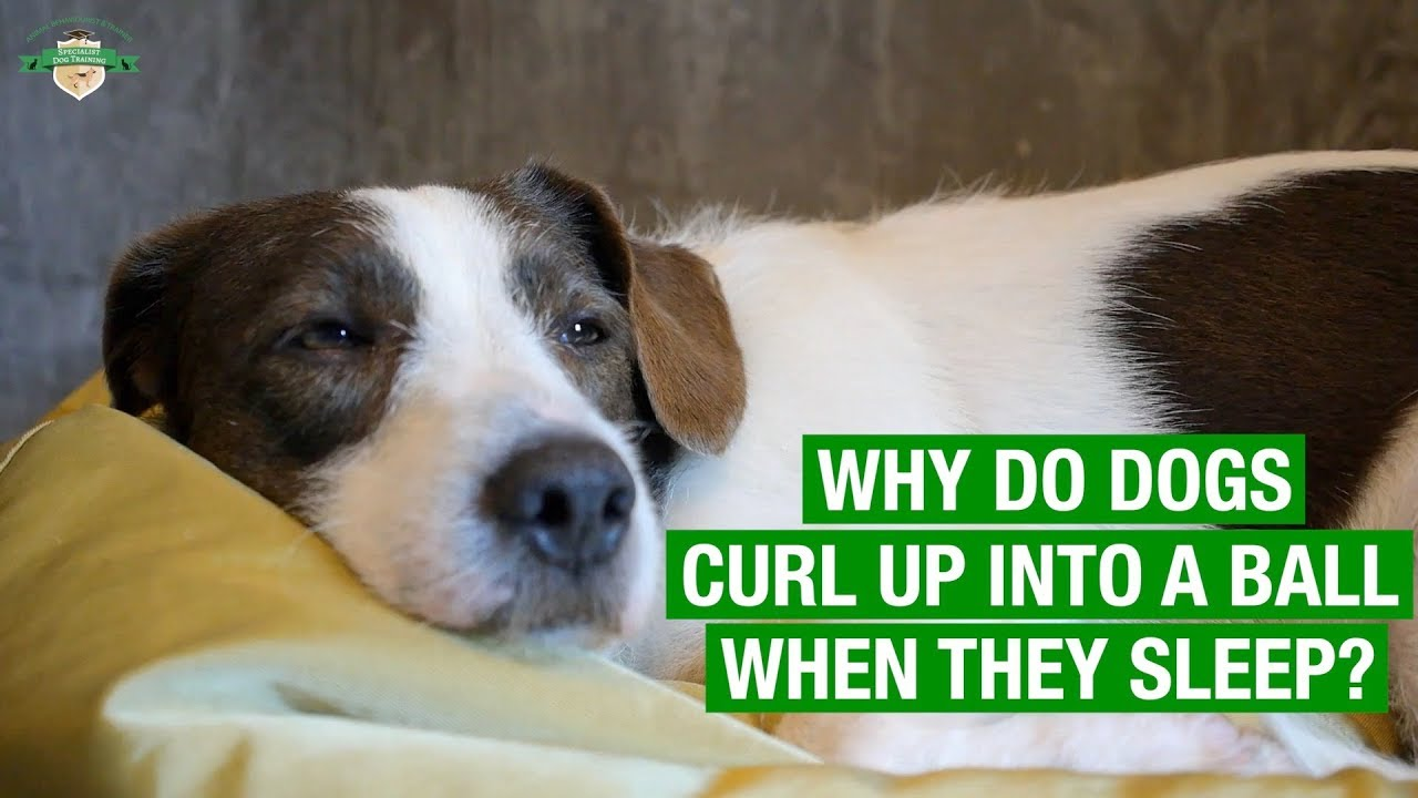Dog Facts Why Do Dogs Curl Up Into A Ball When They Sleep Youtube