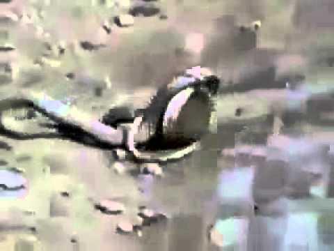 sap or nevla ki fight - YouTube