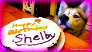 Happy 6th Birthday Shelby The Siberian Husky!