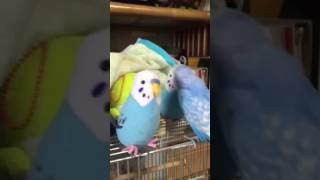 Parakeet plays with toys that look like him
