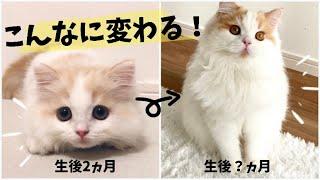 長毛子猫の成長記録変化がすごい生後2ヵ月〜8ヵ月まとめ【スコティッシュフォールド長毛】