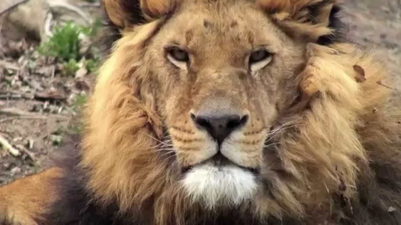 See Lions in the Wild on a Safari with Natural Habitat Adventures ...