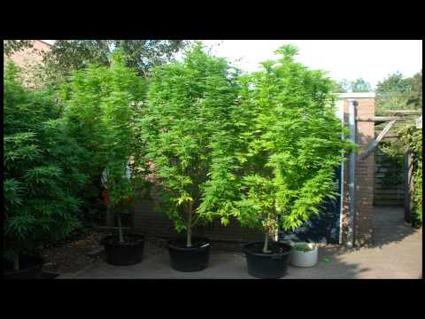 2014 Big Bang and A.M.S outdoor cannabis grow