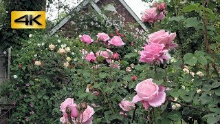埼玉県熊谷市郊外のひっそりとした場所に佇む「秘密の花園」=Le Jardin Secret(ル・ジャルダン・サクレ)。 オーナーの権田眞里子さんがバラ(薔...