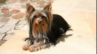 Yorkshire Terrier, Facts, Facts About Yorkshire Terriers, Chanel Bridget