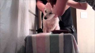 Rehabilitating Ramzi Pt 6: Dog Attacks Groomer! Greenville's Dog Whisperer Helps Sc Aggression