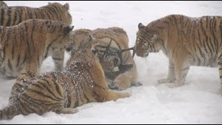Repeat youtube video Chubby Siberian Tigers Hunt Electronic Bird of Prey