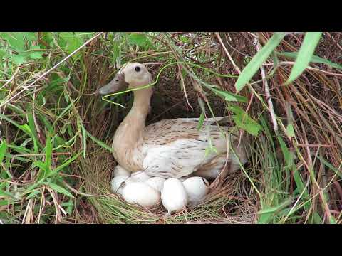 Primitive Technology: Found A Duck Nest - Run n Play With Duck in the water