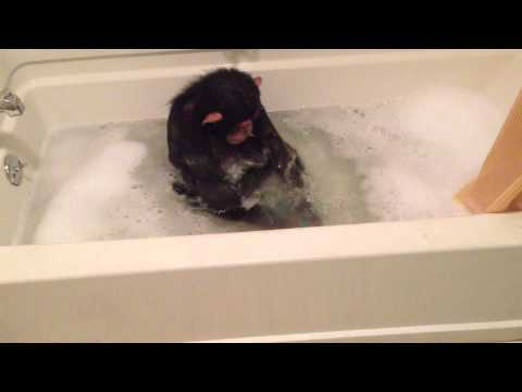 Chloe the Chimp taking a bubble bath