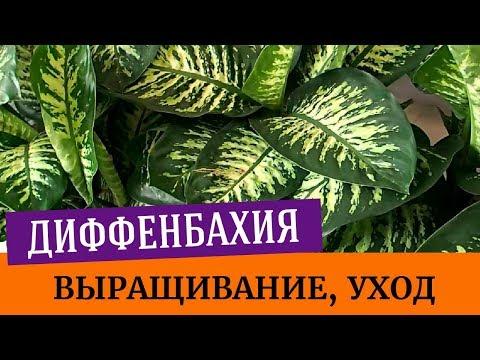 Диффенбахия - выращивание, уход, полив. Цветение диффенбахии, пересадка диффенбахии