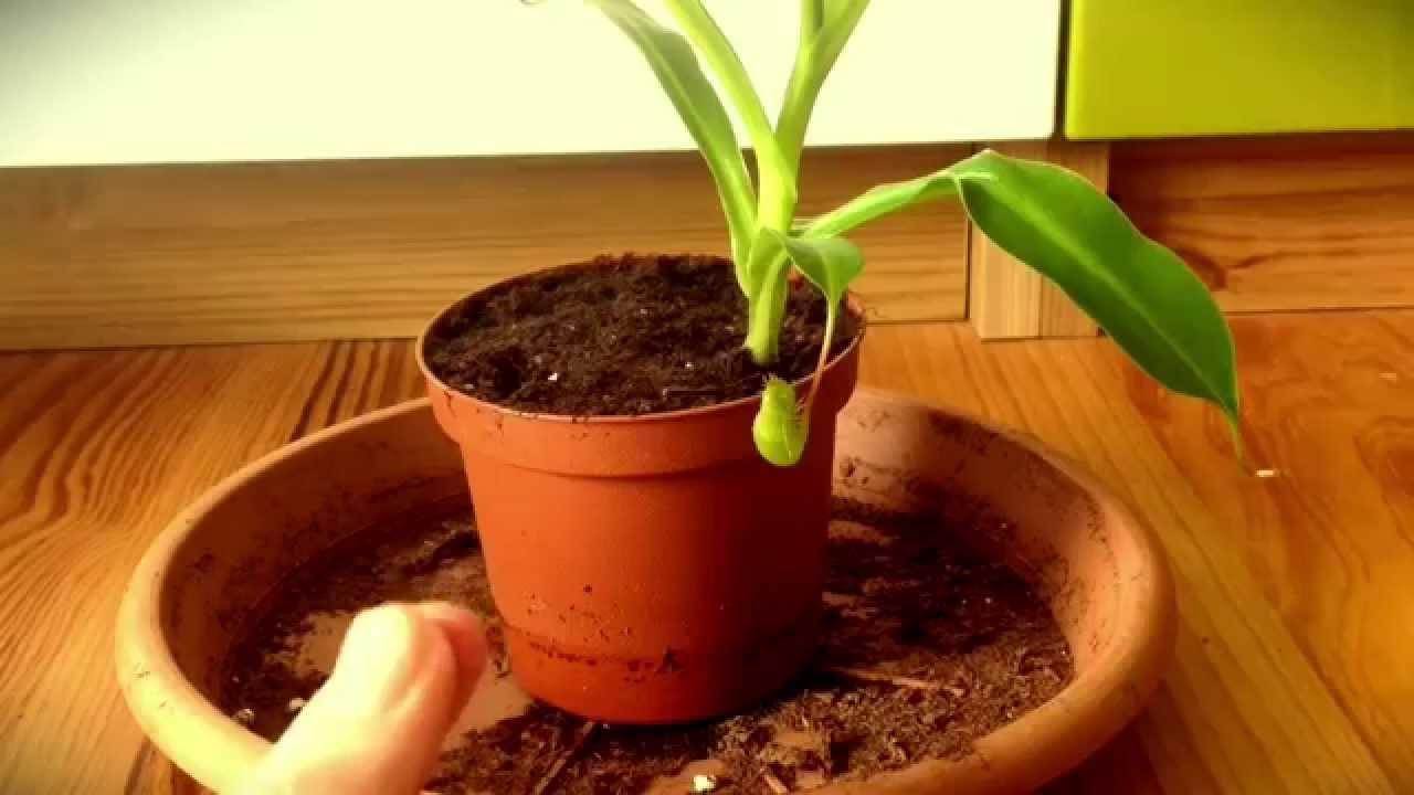 Was Braucht Man Zum Züchten Fleischfressender Pflanzen? - Youtube Fleischfressende Pflanzen Zuhause Zuchten