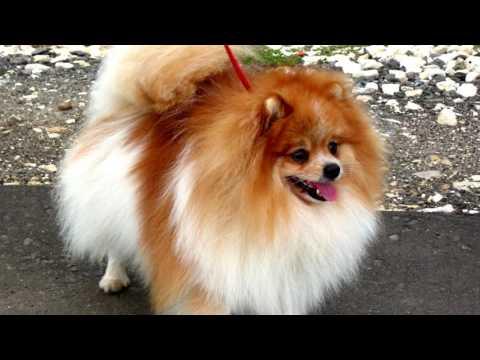 Порода собак. Немецкий шпиц. Милая собаченка.  Хороший сторож