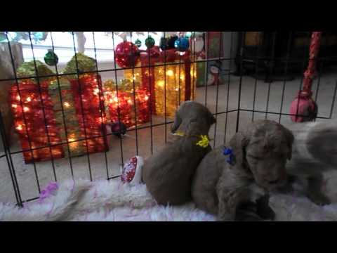Coco and Dandies-- Lil' Dandie puppy at 1 month.  First playpen experience.