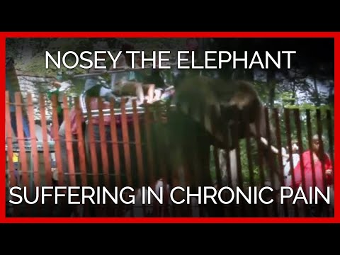 Nosey the Elephant Suffering in Chronic Pain