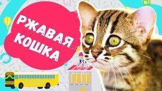 🙂 ТОП 5 фактов о редкой породе - Ржавая кошка.😺Детское обучающее видео шоу: Кошки, коты и котята😻