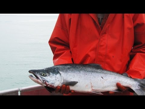 Copper River Salmon In Cordova, Alaska