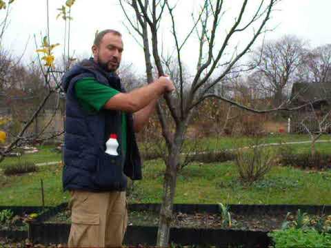 Подготовка деревьев к осенней побелке. Профилактика и борьба с бактериозами.