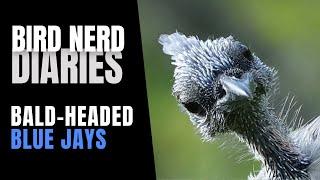 Bird Nerd Diaries | Bald-headed Jays & Lovely August Days thumbnail