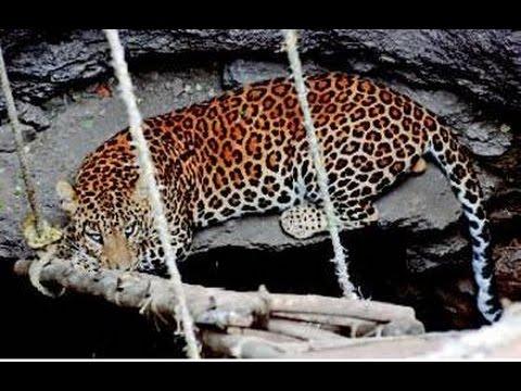 Leopard spreading terror in Meerut finally caught