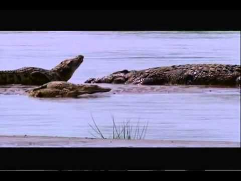 Gustave (The Giant Nile Crocodile) VS The Hippopotamus ...
