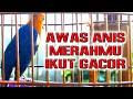 Awas Anis Merah Lain Ikut Gacor  Mp3 - Mp4 Download