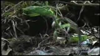 Mantis vs Snake