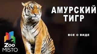 Амурский тигр - Все вид хищных млекопитающих   Вид хищных млекопитающих амурский тигр