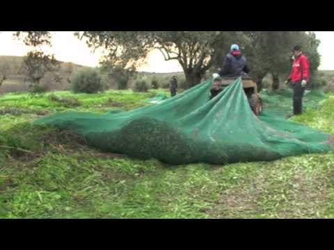 Olive Harvest with Quad Bike