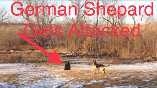 German Shepard Guard Dog Saves Us From A Big Black Predator