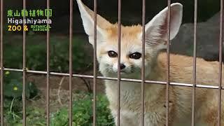 【東山動植物園公式】フェネックのキキ