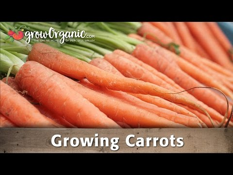 Growing Organic Carrots in Your Garden