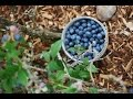 Fall Harvest at the Blueberry Hill Farm