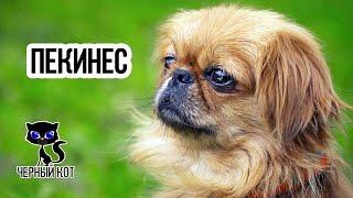 Пекинес / Интересные факты о собаках