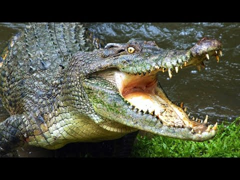 Largest Crocodile Ever Found in the Sahara