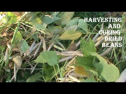 Organic Gardening:  Harvesting and Curing Dried Beans