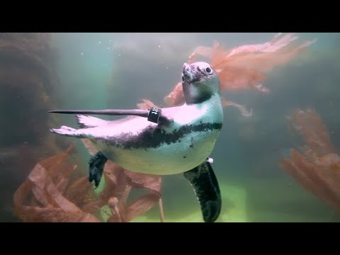 African Penguins Dive Deep at the San Diego Zoo