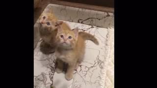 Ржачные рыжые котята Британцы